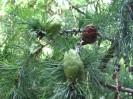 Вагонка из лиственницы